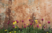 Grunge wall with tulips — Stock Photo