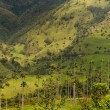 Vax palm trees of Cocora Valley, colombia - Foto Stock