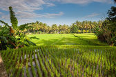 Rice terraces of bali, indonesia — Stock Photo