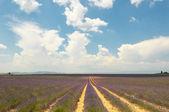 Campo di lavanda, provenza, francia — Foto Stock