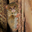 Tarsier, smallest primate, Tangkoko, Sulawes — Stock Photo #24032695