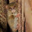 Stock Photo: Tarsier, smallest primate, Tangkoko, Sulawes