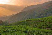 Tea plantations in Munnar, Kerala, India — Stok fotoğraf