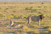 Mating lions — Stock Photo