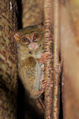 Tarsier, the smallest primate, Tangkoko, Sulawes — Stock Photo