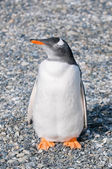 Gentoo penguin — Foto Stock