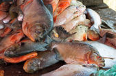 Fresh piranha at a fish market — Stock Photo