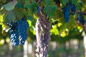 Grape bunch, very shallow focus — Stock Photo