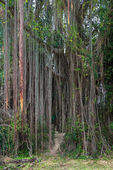 Aerial roots of a big tree — Stock Photo