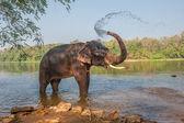 Elephant bathing, Kerala, India — Stock Photo