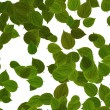 Stock Photo: Green leaves over white background