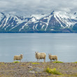 Icelandic sheep — Stock Photo