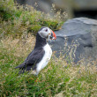 Puffin — Stock Photo #30055043