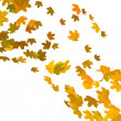 Stockfoto: Yellow maple leaves over white background