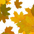 Stock Photo: Yellow maple leaves over white background