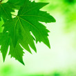 Green leaves, shallow focus — Stock Photo #30865339