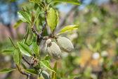 Almond fruits — Stock Photo