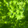 Stock Photo: Green leaves, shallow focus