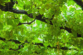 Background of grape leaves — Stock Photo