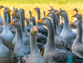 Perigord geese — Stock Photo