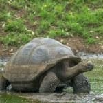 Giant turtle, Galapagos islands, Ecuador — Stock Photo #32491711
