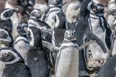 Magellanic penguins — Stock Photo