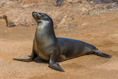 Sea lion, Galapagos islands, Ecuador — Stock Photo
