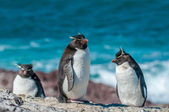 Pinguins rockhopper — Foto Stock