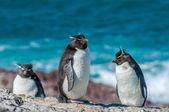 Rockhopper tučňáci — Stock fotografie