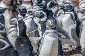 Pingüins de magalhães — Foto Stock