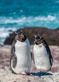 Rockhopper пингвинов — Стоковое фото