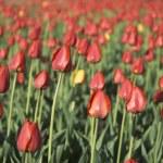 Tulip field - shallow focus — Stock Photo #9980344