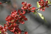 Japanese quince, Closeup — Stock Photo