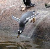 Gentoo penguin diving — Stock Photo