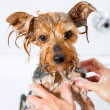Stok fotoğraf: Little yorkshire dog getting washed.