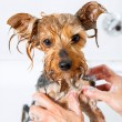 Stock Photo: Little yorkshire dog getting washed.