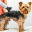 Stock Photo: Yorkshire in dog salon.