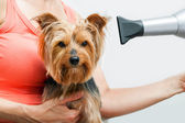 Yorkshire getting blow dried. — Stock Photo