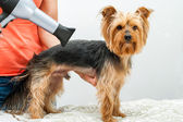 Yorkshire in dog salon. — Stock Photo