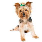 Cute yorkshire male dog. — Stock Photo