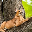 Caracal in tree. — Stock Photo #42045515