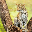 Young male leopard in tree. — Stock Photo #42045521