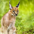 Young male caracal in grass. — Stock Photo #42045553