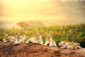 Lion cubs waiting together. — Stock Photo