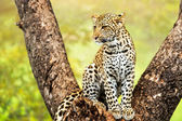 Young male leopard in tree. — ストック写真