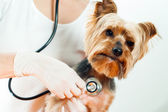 Vet with stethoscope. — Stock Photo