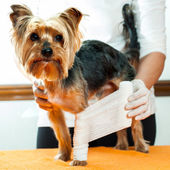 Vet binding up dogs leg. — Stok fotoğraf