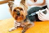 Vet giving dog injection. — Stock Photo