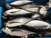 Horse mackerel — Stock Photo