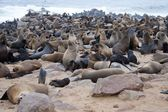Seal colony in Namibia — Stock Photo